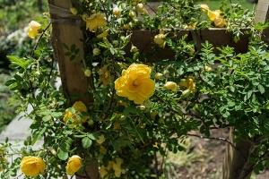 yellow climbing roses growing up trellis