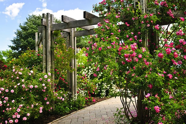 Choosing Climbing Plants for Arches, Arbours and Pergolas