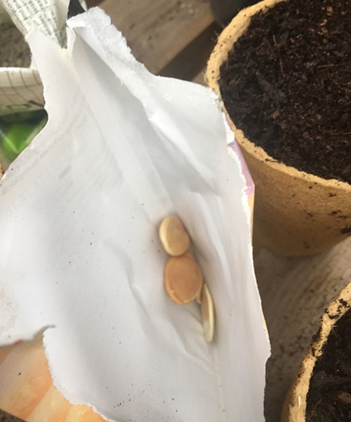 a pumpkin seed in a packet ready to be potted