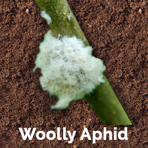 qa-wooly-aphid