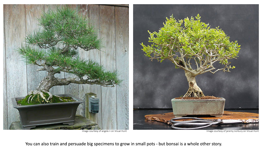 You can also train big specimens to grow in small pots - but bonsai is a whole other story