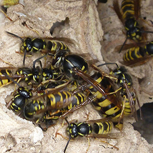 What Do Wasps Do? (other than ruin my shed!)