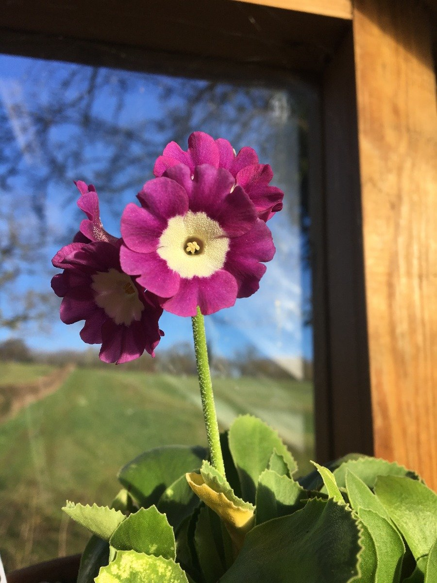 Auricula in Phil's Greenhouse