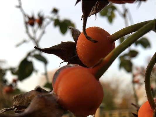 rosehips as we wait for spring