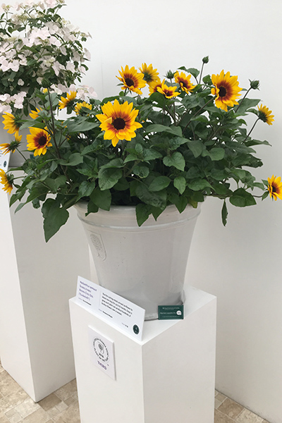 RHS Chelsea Flower Show Plant of the Year Third Place Helianthus annus Sunbelieveable Brown Eyed Girl