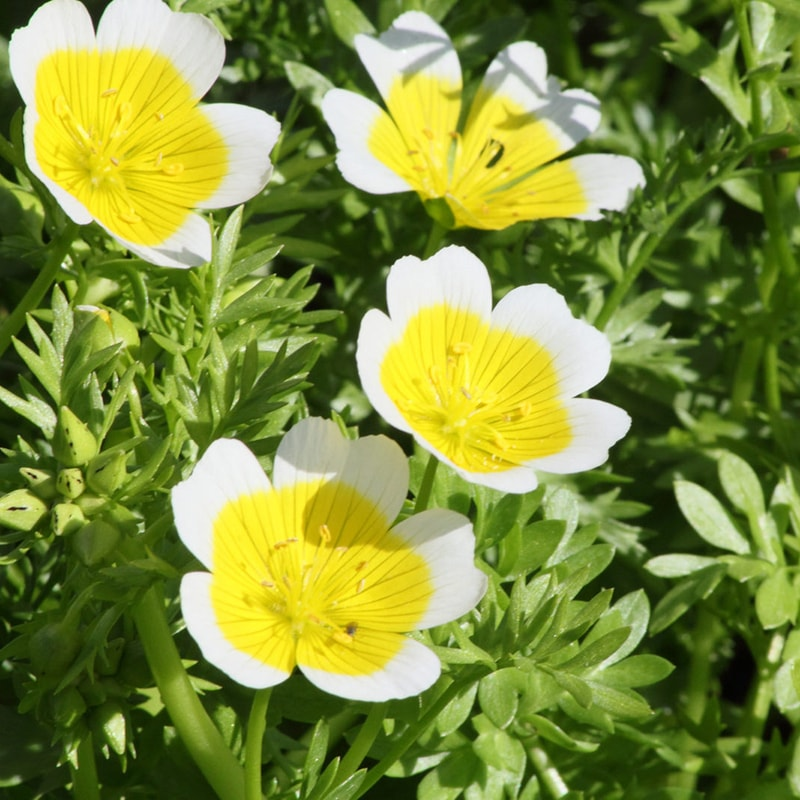 poached egg plant limanthes douglasii
