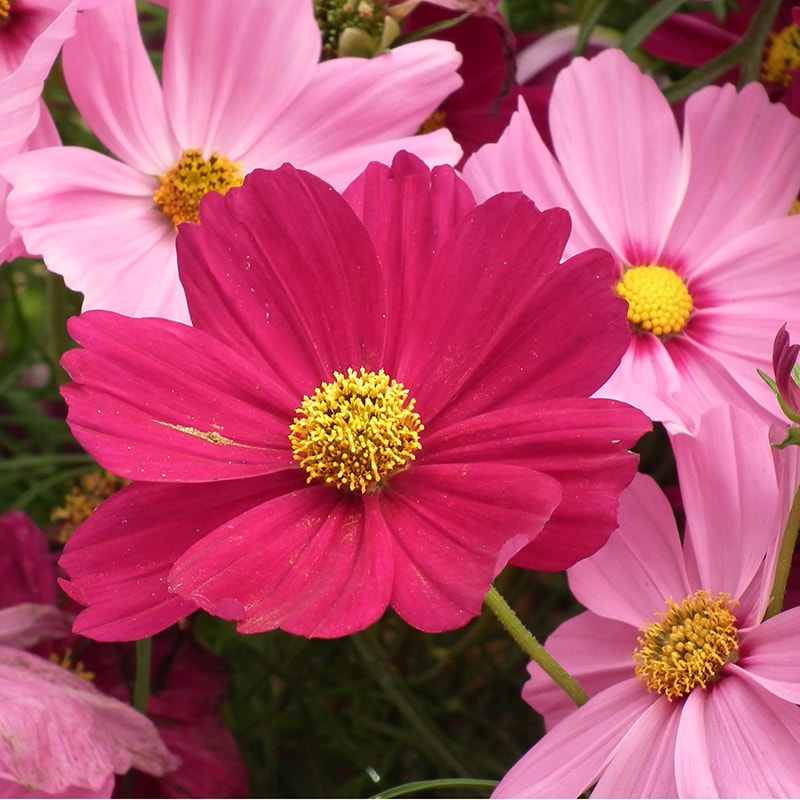 3. Cosmos Pink
