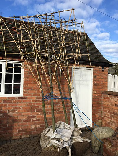 Phil's Pleached Hornbeams ready to plant