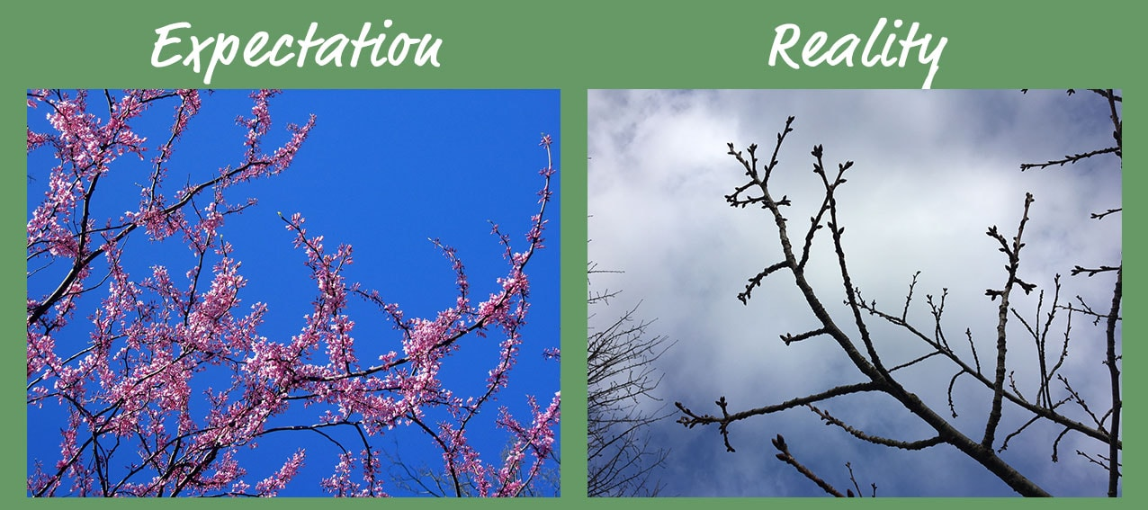 expectation and reality of this spring's cherry tree