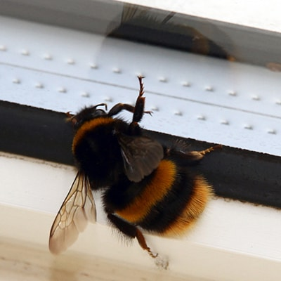 Bumble bee at the window