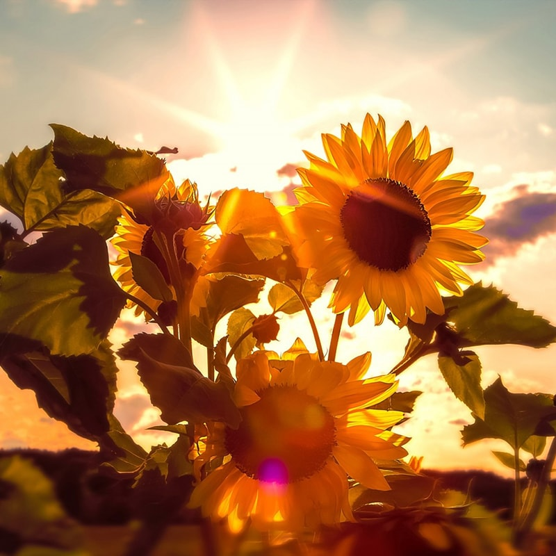 Sunflowers and sunshine in summer