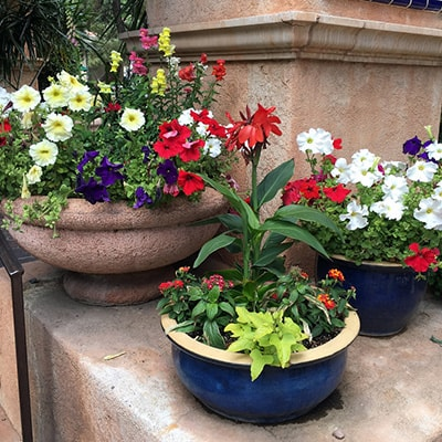 Beautiful Bedding Plants in Pot