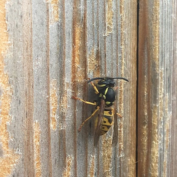 wasp scraping shed door for nesting material
